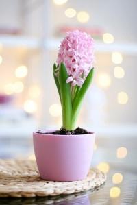 hyacinth-(10)-30074-500x0